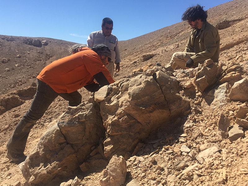 PALEONTOLOGISTS FIND VESTIGES OF A PLIOSAUR IN CALAMA
